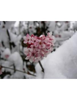 Kalina bodnantska 'Dawn' -Viburnum bodnantense