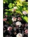 Pęcherznica kalinolistna 'Red Baron'-Physocarpus opulifolius 'Red Baron'