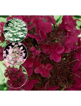 hortensja wiechowata-Hydrangea paniculata Wims Red