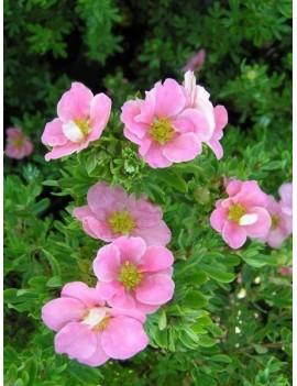 Pięciornik krzewiasty 'Pink Beauty' -licencja-Potentilla fruticosa 'Pink Beauty' ( 'Lovely Pink')