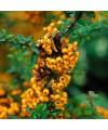 Ognik szkarłatny 'Teton'-Pyracantha coccinea 'Teton'