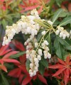 Pieris japoński 'Forest Flame'-Pieris japonica 'Forest Flame'