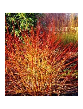 Dereń Meetwinter Fire (Cornus Meetwinter Fire)