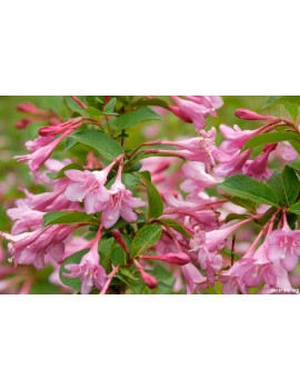 Krzewuszka 'Pink Princess'-Weigela florida 'Pink Princess'