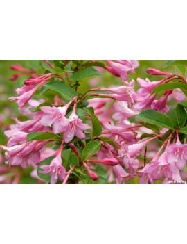 Krzewuszka 'Pink Princess'-Weigela florida 'Pink Princess'