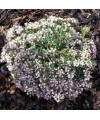 """Modrzewnica pospolita 'Compacta'-Andromeda polifolia """"Compacta'"""