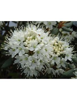 Bagno grenlandzkie Helma-Ledum groenlandicum