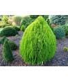 """zywotnik wschodni (biota wschodnia) """"aurea nana""""-Platycladus orientalis"""