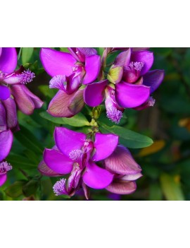 krzyżownica-Polygala fruticosa