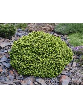 Świerk pospolity Little Gem -Picea abies Little Gem