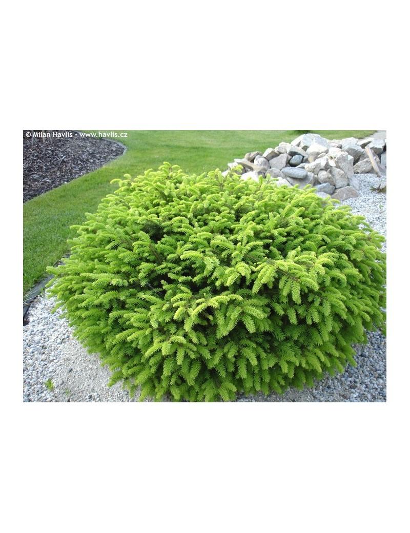 Świerk pospolity 'Nidiformis'-Picea abies 'Nidiformis'