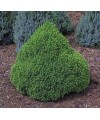 Świerk biały 'Alberta Globe'-Picea glauca 'Alberta Globe'