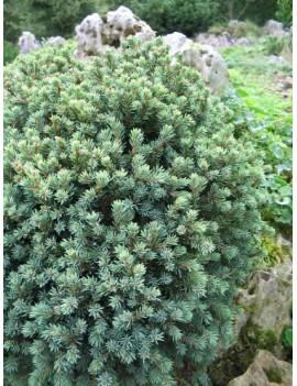 Świerk biały 'Blue Planet'-Picea glauca 'Blue Planet'