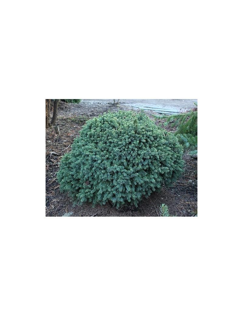 Świerk biały 'Echiniformis'-Picea glauca 'Echiniformis'