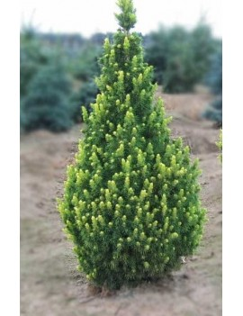 Świerk biały Rainbow's End - Picea glauca Rainbow's End
