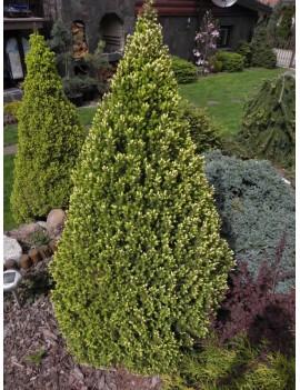 Świerk biały 'Zuckerhut'-Picea glauca 'Zuckerhut'