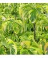 Dereń kwiecisty 'Rainbow'-Cornus florida 'Rainbow'