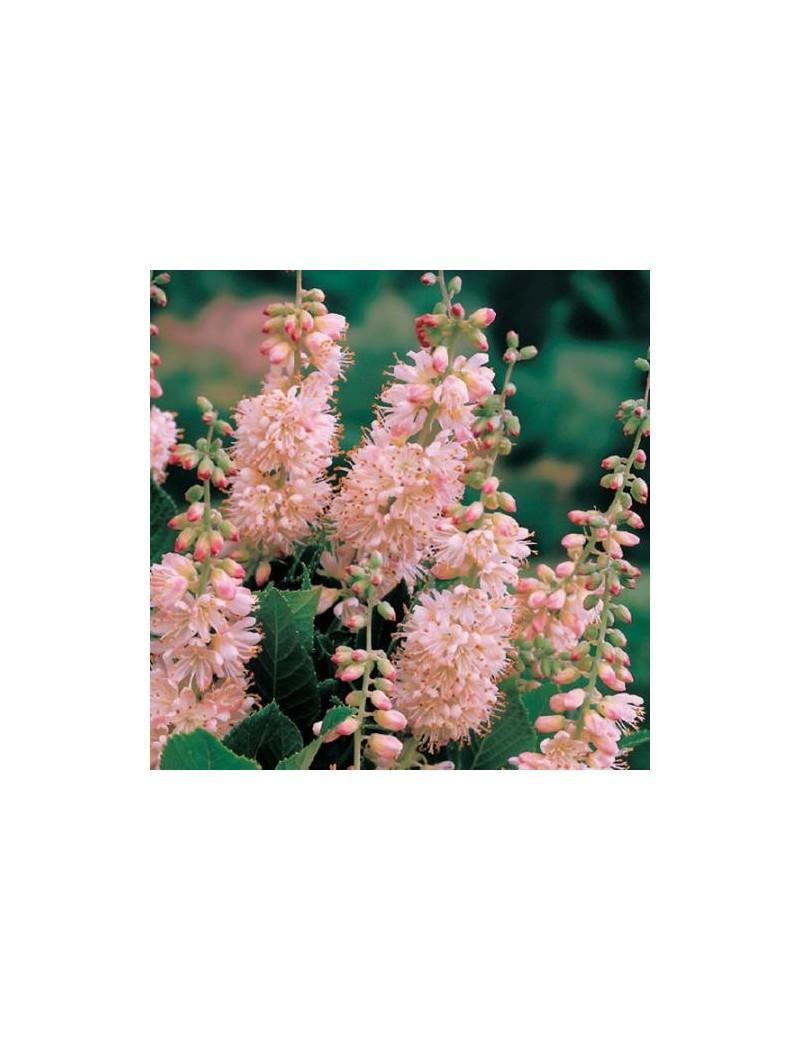 """Orszelina zwyczajna 'Pink Spire""""-Clethra alnifolia 'Pink Spire'"""
