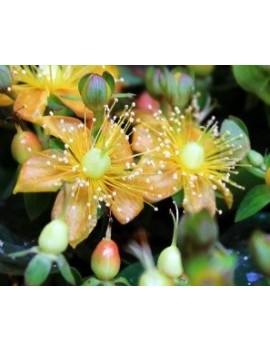"""Dziurawiec kileichowaty -Hypericum calycinum """"Yellow Wave"""" PBR"""