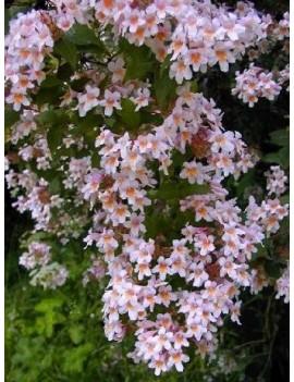 KOLKWICJA CHIŃSKA 'PINK CLOUD' -Kolkwitzia amabilis 'Pink Cloud'