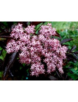 Bez czarny gerda Black Beauty'-sambucus nigra ' GERDA Black Beauty'