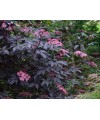 Bez czarny gerda Black Beauty'-ambucus nigra ' GERDA Black Beauty'