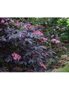 Bez czarny gerda Black Beauty'-ambucus nigra ' GERDA Black Beauty'