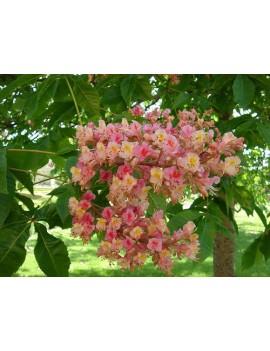 kasztanowiec czerwony 'Briotii'-Aesculus ×carnea 'Briotii'