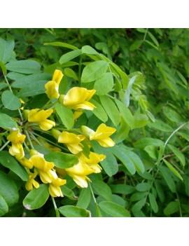 karagana syberyjska 'Pendula'-Caragana arborescens 'Pendula'
