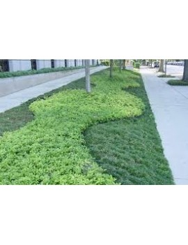 Jałowiec płożący 'Wiltonii'-Juniperus horizontalis 'Wiltonii'