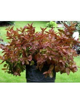 Krzewuszka cudowna WINGS OF FIRE PBR -Weigela florida