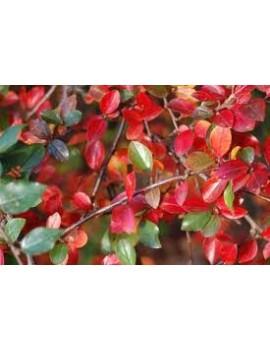 irga rozkrzewiona-cotoneaster divaricatus