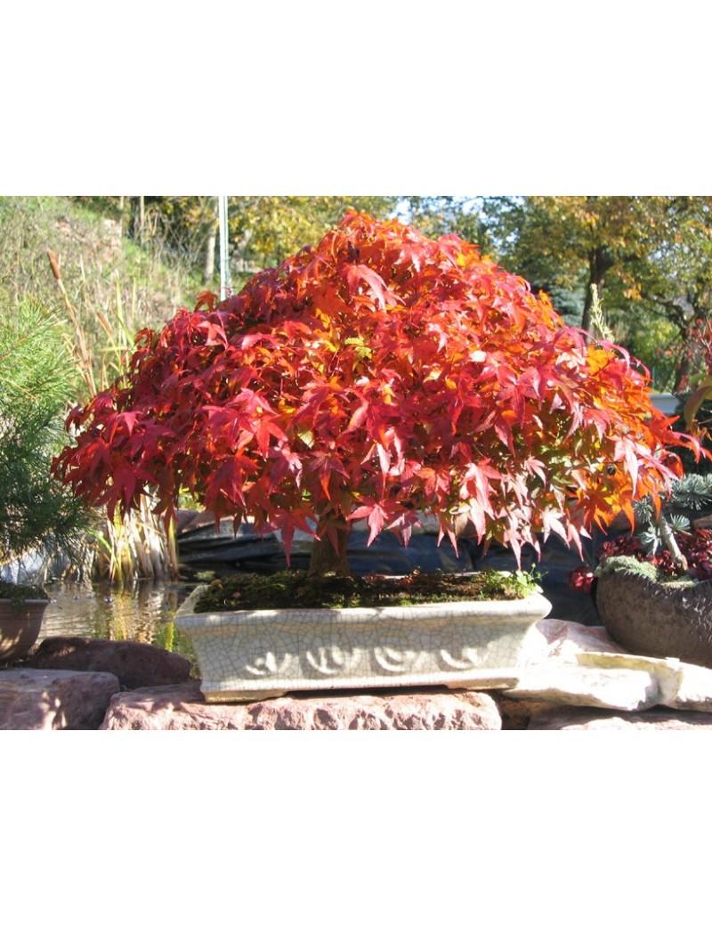 Klon palmowy KATSURA,Acer palmatum