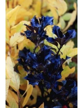 Ilex meserveae 'Blue Prince'-ostrokrzew
