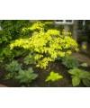 dereń skrętolistny Golden shadow -Cornus alternifolia 'Golden Shadow'