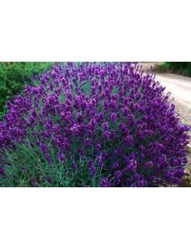 Lawenda wąskolistna 'Hidcote'-Lavandula angustifolia 'Hidcote'