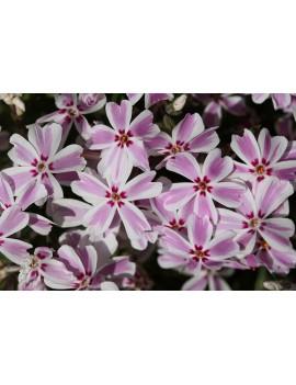 floks szydlasty-Phlox subulata Candy Stripe