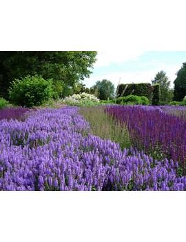 """szałwia wspaniała (omszona)-Salvia nemorosa """"Ostfriesland"""""""